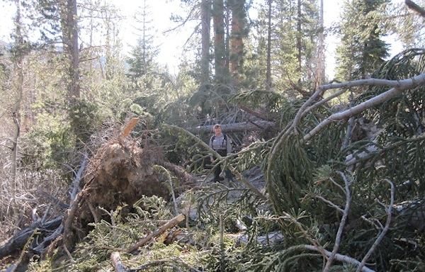 A ranger stands in a grove of knocked-down trees near Rainbow Falls after the November 30, 2011 wind storm | Photo: Courtesy Inyo National Forest