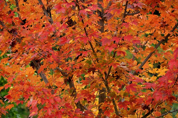 A Freeman's Maple tree showing off its 'Autumn Blaze' fall color at the L.A. County Arboretum | Photo: Frank McDonough/L.A. County Arboretum
