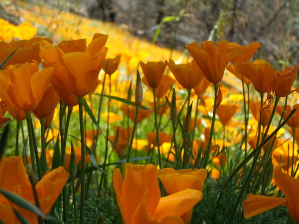 A carpet of California poppies near the Figueroa Mountain station | Photo: Courtesy Los Padres National Forest