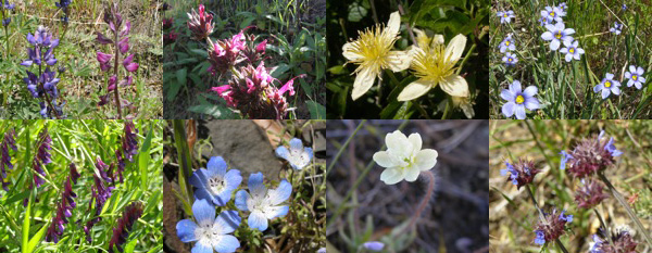 A variety of blooming wildflowers. From Top Left: Royal Lupine and Spiney Lupine, Hummingbird Sage, Clemetis, and Blue-eyed grass. From Bottom Left: Vetch, Baby Blue Eyes, Cream Cup, and Chia | Photos: Courtesy Los Padres National Forest