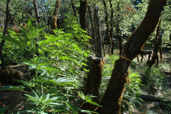 Trees in Six Rivers National Forest were killed to allow sunlight to bath marijuana plants growing below the canopy | Photo courtesy of the U.S. Forest Service