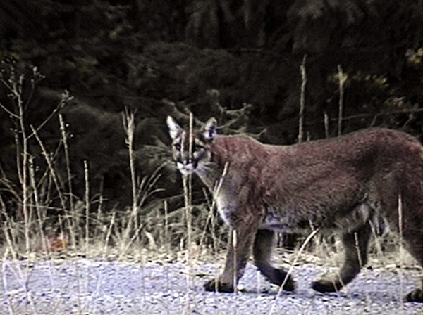mountain-lion-attack-nevada-county