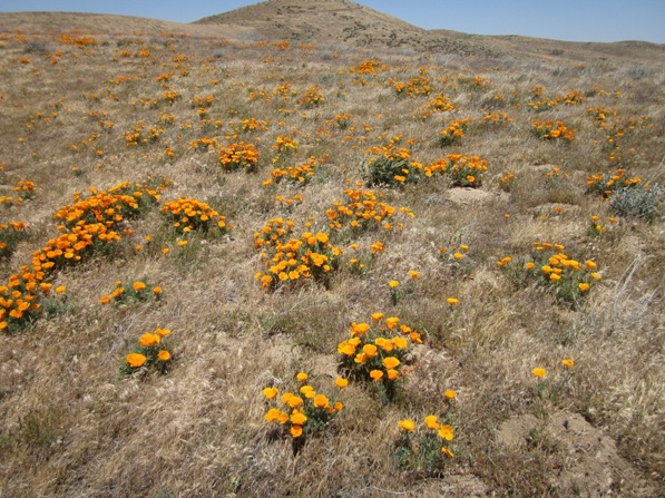 Poppies seen on May 2nd from the South Poppy Loop Trail | Photo Courtesy California State Parks