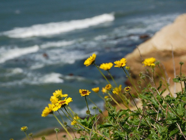 Wildflowers seen at Cabrillo National Monument in 2010