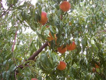 peaches?  yep, peaches