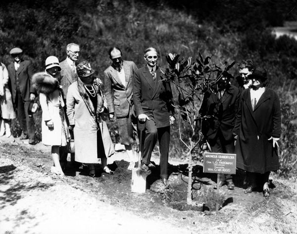 Senator William McAdoo plants a magnolia tree in the Forest of Fame. Courtesy of the Photo Collection, Los Angeles Public Library.