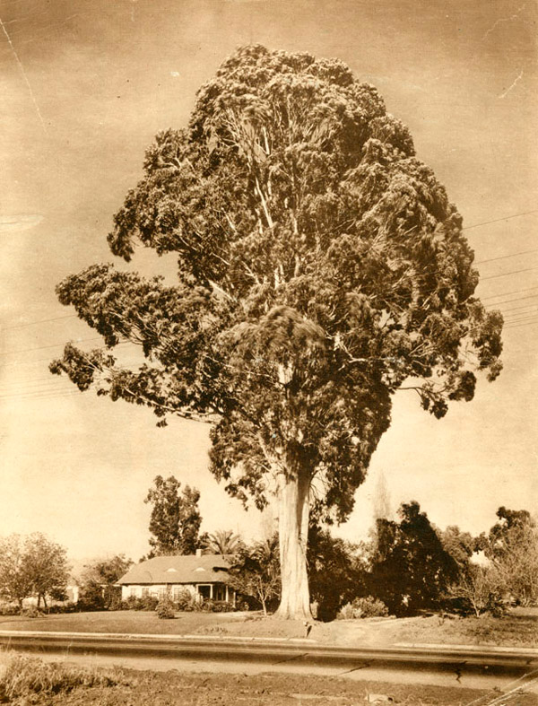 This massive eucalyptus, pictured in 1928, once grew on Preuss Rd. near Beverly Hills. It became a cause célèbre when real estate interests proposed to cut it down. Courtesy of the Herald-Examiner Collection, Los Angeles Public Library.