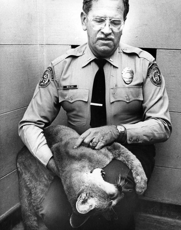 An animal control officer holds a young mountain lion found in West Los Angeles in 1978. Courtesy of the Herald-Examiner Collection, Los Angeles Public Library.