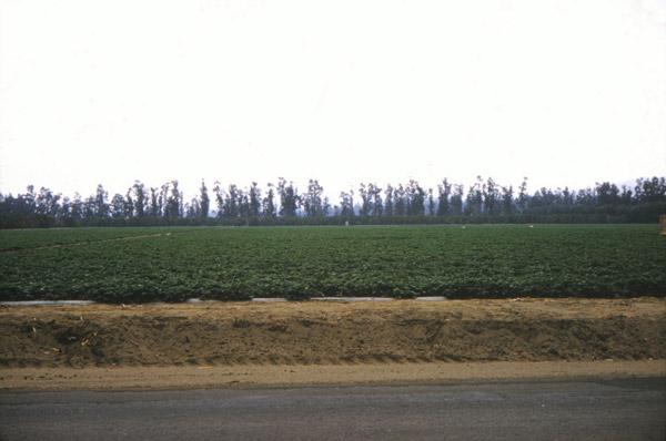 Eucalyptus trees form a barricade against the wind on an Anaheim farm, 1961. Courtesy of the Orange County Archives.