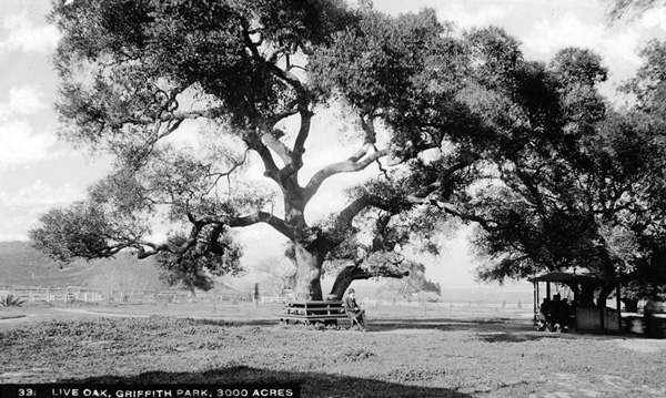 Massive oaks dotted the flatter parts Griffith Park, like this one near the old ostrich farm. Courtesy of the Title Insurance and Trust / C.C. Pierce Photography Collection, USC Libraries.