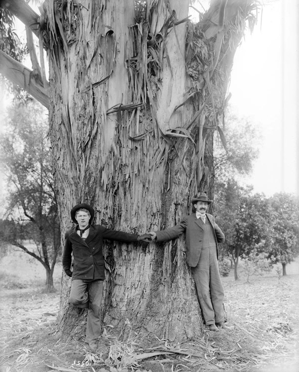 Two men demonstrate the girth of a 25-year-old blue gum tree on the L. J. Rose ranch in Rosemead, circa 1900. Courtesy of the USC Libraries - California Historical Society Collection.