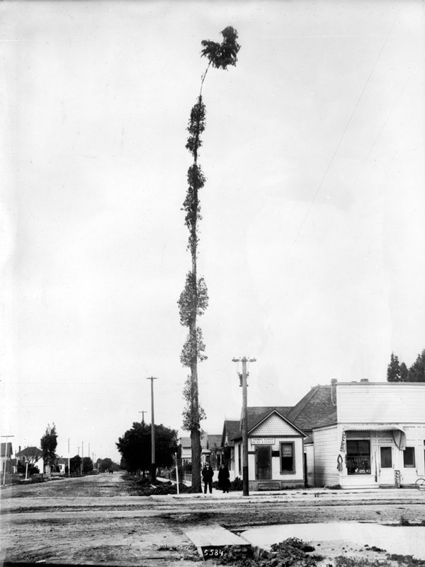 A lanky eucalyptus grew at the corner of 36th and University (now Trousdale), the present-day site of USC's statue of Tommy Trojan. Courtesy of the Title Insurance and Trust / C.C. Pierce Photography Collection, USC Libraries.