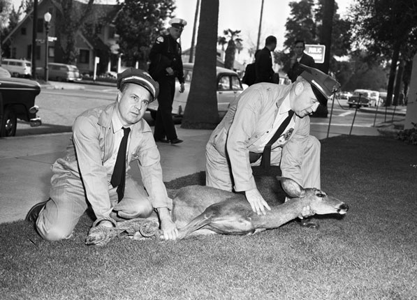 L.A. Department of Animal Regulations officers hold down a 135 pound mule deer found in Sherman Oaks. Courtesy of the Los Angeles Examiner Collection, USC Libraries.
