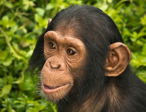 Sara. | Photo: Courtesy Chimpanzee Sanctuary and Wildlife Conservation Trust