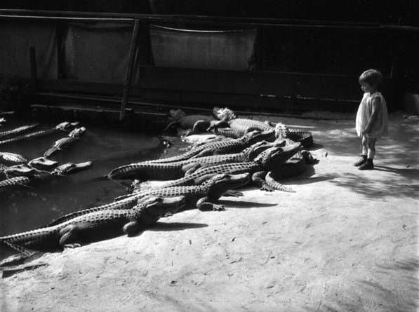A young child has a close encounter with the alligators at the California Alligator Farm. Courtesy of the Los Angeles Public Library Photograph Collection.