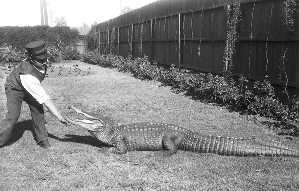 A uniformed park worker tickles the underside of an alligator's mouth. Courtesy of the Title Insurance and Trust / C.C. Pierce Photography Collection, USC Libraries.