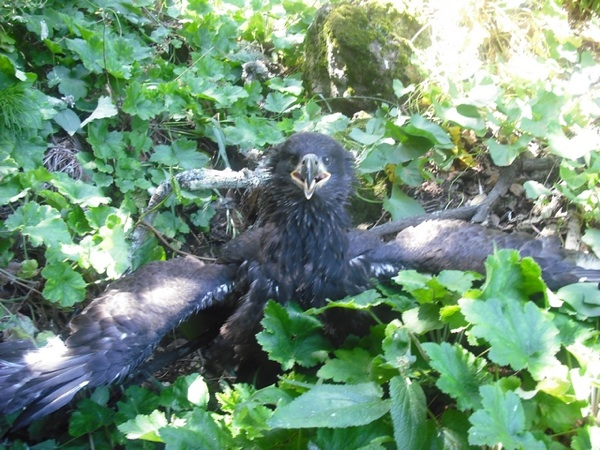 The recently-hatched eaglet stares into a camera | Photo courtesy of Dr. Peter Sharpe