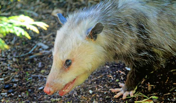 Threat or Threatened? - Outlawed Opossums Lack Legal Protection KCET
