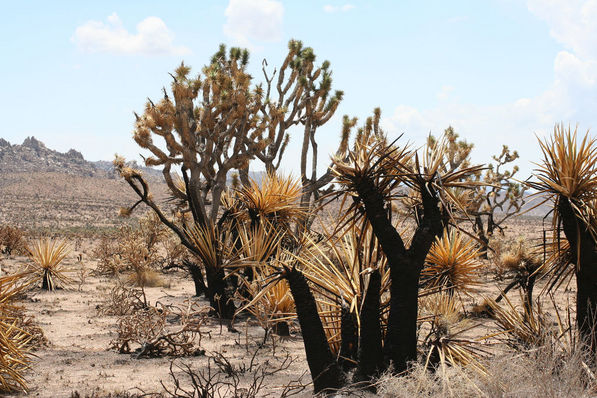 Dead and dying yuccas in the wake of the 2005 Hackberry fires, Mojave National Preserve | Chris Clarke photo