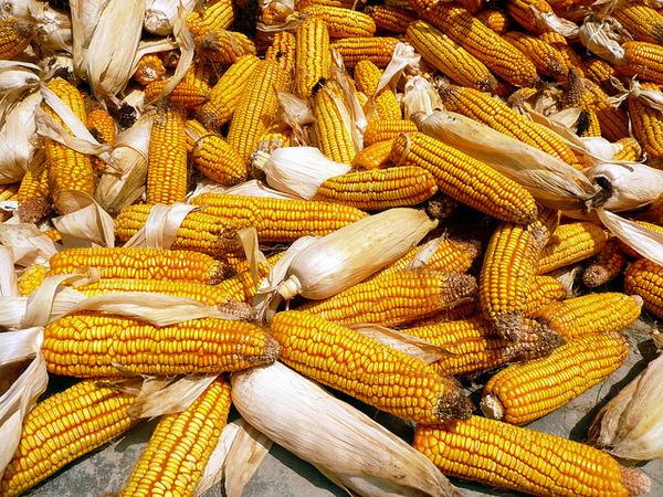 maize-10-5-12-thumb-600x450-37422