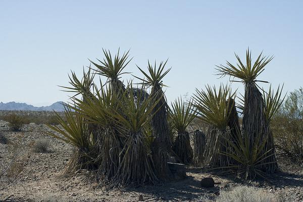 yuccas-1-14-13-thumb-600x400-43399
