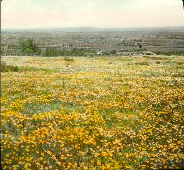 Lantern slide of a poppy field below in present-day Altadena, 1900. Courtesy of the Braun Research Library Collection, Autry National Center. Object ID LS.12459.