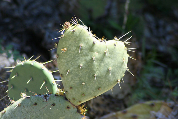 cactus-heart-2-14-13-thumb-600x400-45353