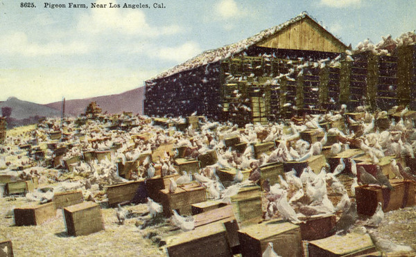 With picture postcards, tourists sent images of the pigeon farm to friends and relatives back home. Courtesy of the Photo Collection, Los Angeles Public Library.