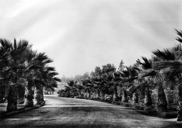 Fan palms line this unidentified drive in Elysian Park. Courtesy of the Security Pacific National Bank Collection, Los Angeles Public Library.
