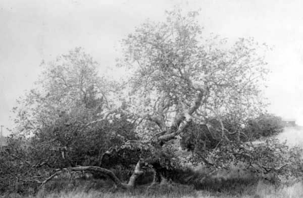 A famous sycamore tree grew in Sawtelle near the Soldiers' Home well into the 1920s. Courtesy of the Photo Collection, Los Angeles Public Library.