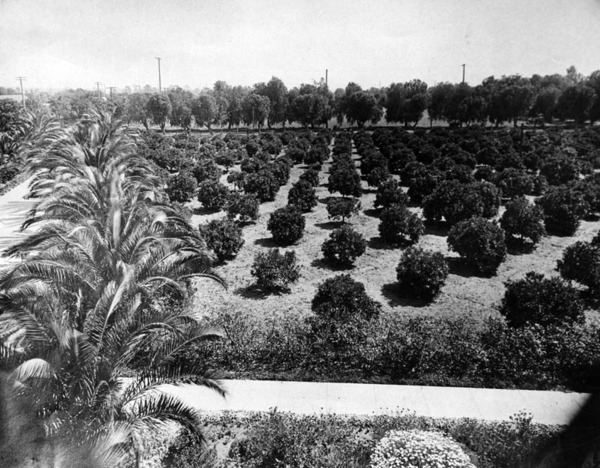 Jacob Stern's lemon grove and gardens on the southwest corner of Hollywood and Vine in 1910. Courtesy of the Photo Collection - Los Angeles Public Library.