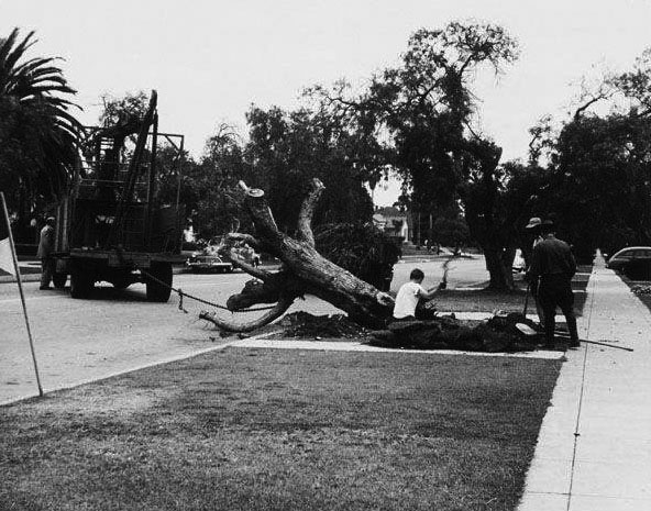 Workers remove a pepper tree infected with Oak Root fungus in Santa Monica, ca.1950. Courtesy of the Santa Monica Public Library Image Archives.