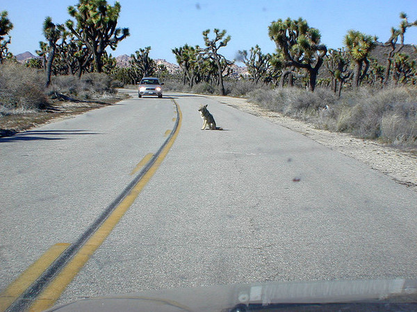 coyote-in-road-jtnp-9-18-13-thumb-600x450-60039