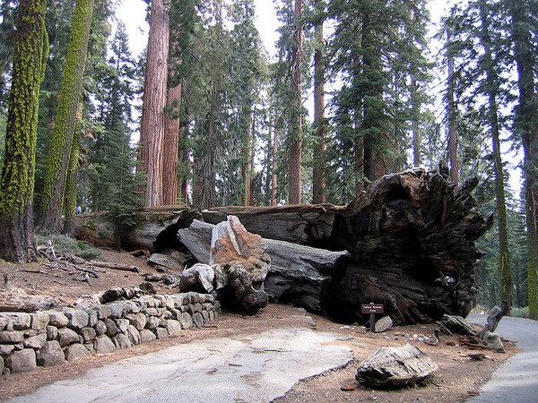 wawona-tunnel-tree-12-31-13-thumb-600x450-66390