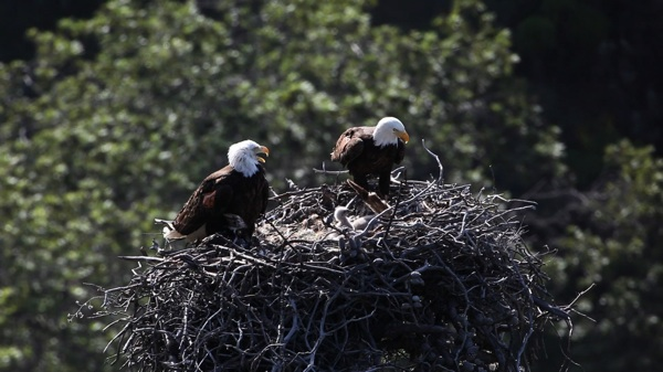 Hatchlings and their parents on the neighboring Santa Cruz Island, as seen by the Channel Islands Live Bald Eagle Webcam | Image Courtesy NPS