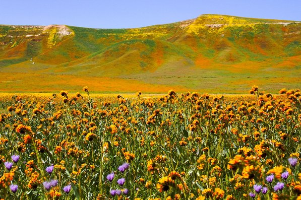 Springtime wildflowers at the BLM's Carrizo Plain National Monument as seen in 2010 in the Central Valley