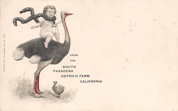 Souvenir postcard from the Cawston Ostrich Farm. Courtesy of the David Klappholz Collection
