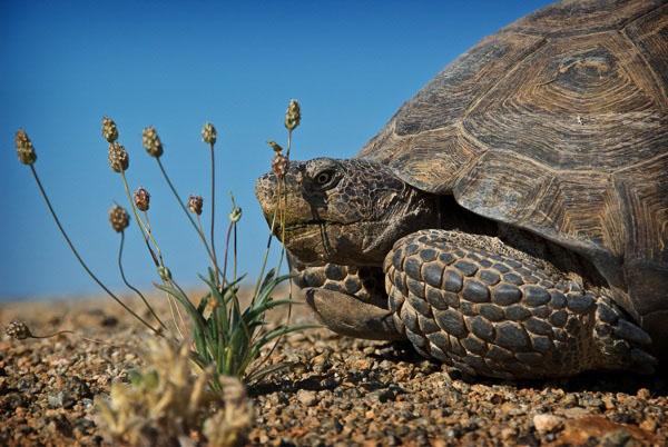 desert-tortoise-ivanpah-brightsource-biden