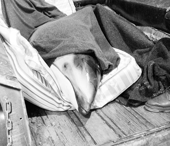 A porpoise in the bed of a pickup track, on its way to Marineland of the Pacific in 1954. Courtesy of the Los Angeles Examiner Collection, USC Libraries.