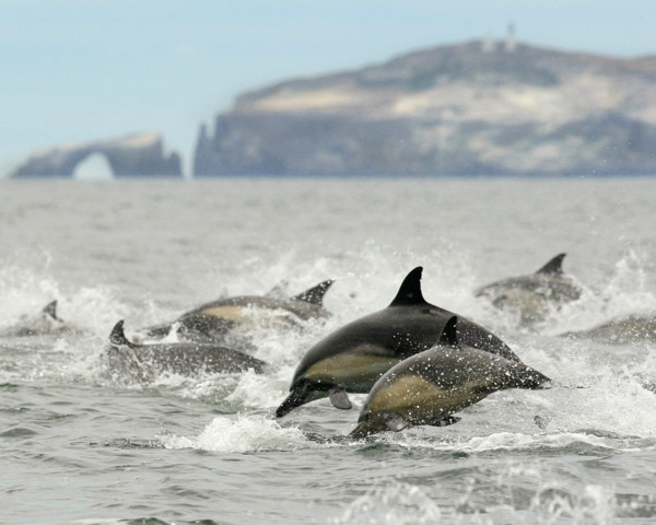 A pod of dolphins near Arch Rock off Anacapa Island in Channel Islands National Park. | Photo: Courtesy Munch Photography/Latitudes Gallery