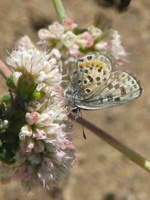 el-segundo-blue-butterfly-lax.jpg