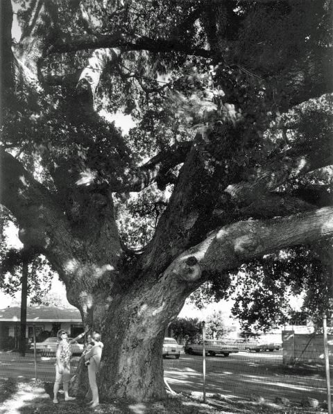 Over one thousand years old, torrential El Nino rails claimed Encino's Lang Oak in 1998. Courtesy of the Photo Collection, Los Angeles Public Library.