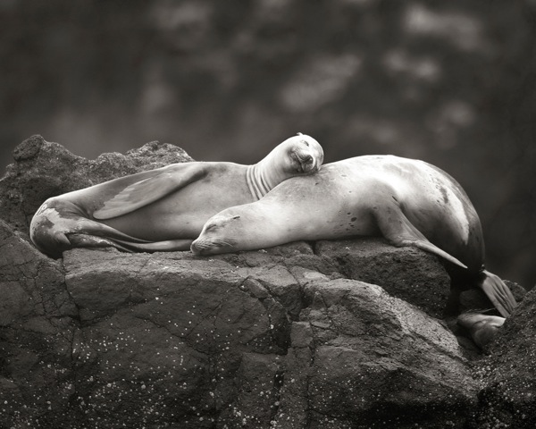 Sea lions, intertwined. | Photo: Courtesy Steve Munch