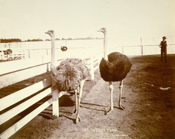 Ostriches on a farm near Santa Monica. Courtesy of the Santa Monica Public Library Image Archives.