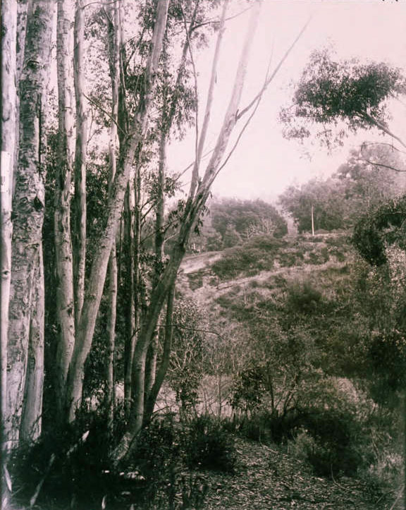 Circa 1920 view of eucalypti growing in Rustic Canyon. Courtesy of the Clearwater Collection, Pacific Palisades Historical Society, Santa Monica Public Library Image Archives.