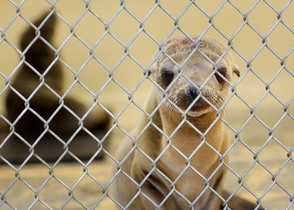 sea-lions-mortality