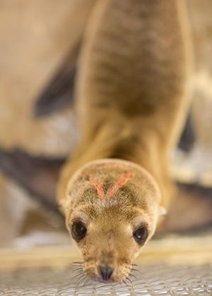 sick-sea-lions-california