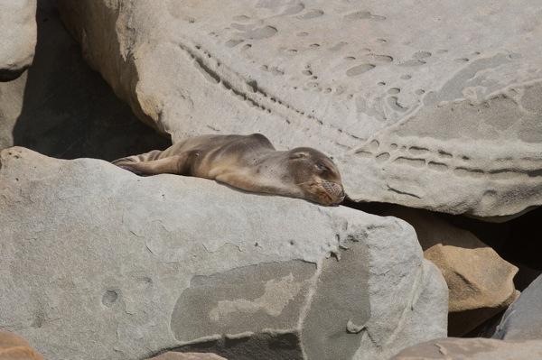 sick-sea-lions