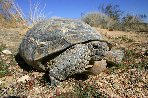 Desert Tortoise in Kern County   Creative Commons photo by Mike Jones