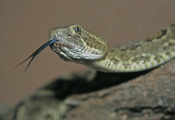 Mojave green rattlesnake | Creative Commons photo by Jerry B.